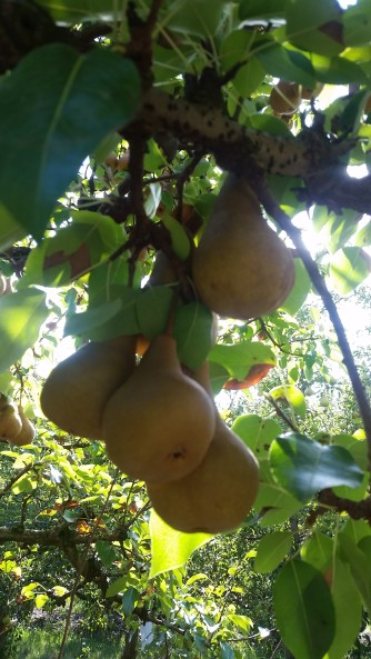 Pears from the Farm
